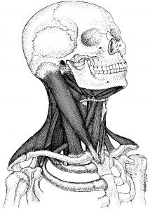 mmt1pg441muscles-of-the-brachial-plexus